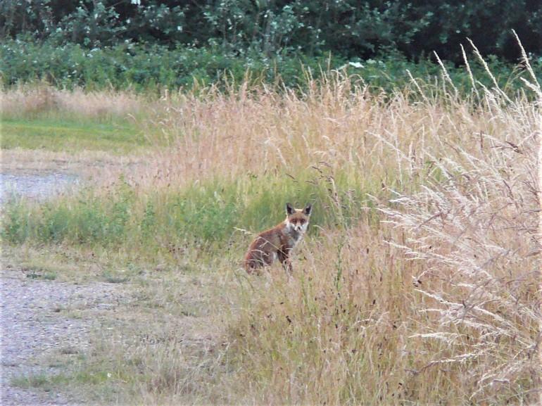 Red Fox (4)